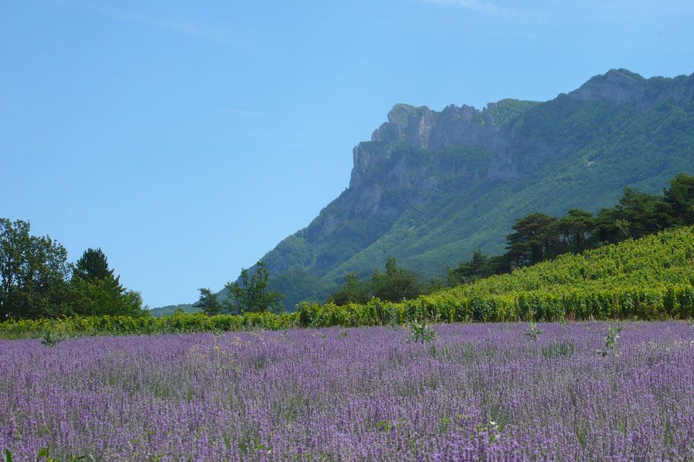 Photographie d'un champ de Lavande et de vignes dans la vallée de la Drôme
