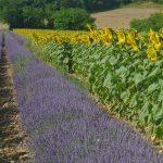 Photographie d'un champ de lavande et de tournesol à Piégros la Clastre dans la Drôme